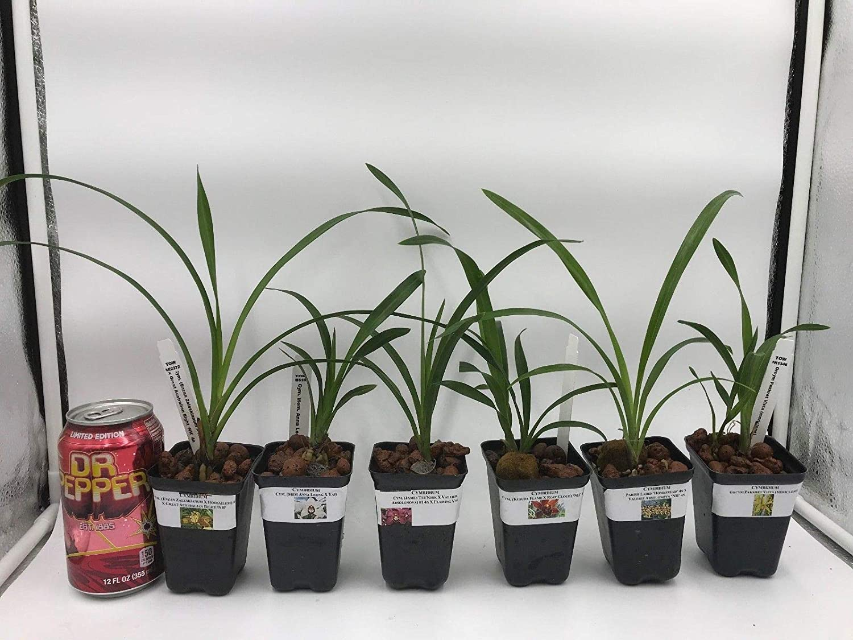 4 Live Cymbidium-Orchidee by Farmerly Cymbidium