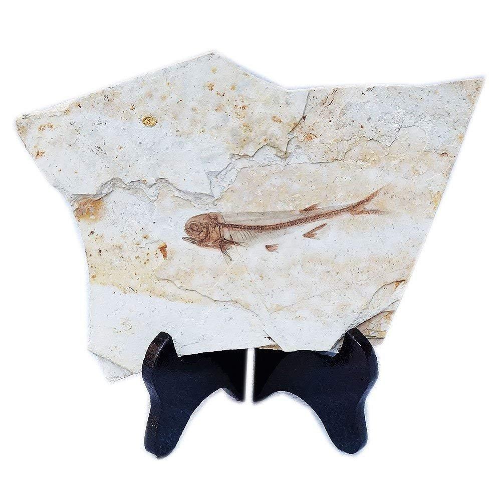Chinesisches Echtfischfossil kommt aus dem westlichen Liaoning China vor 150 Millionen Jahren Lycoptera wyzab wyzab-h0001