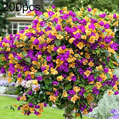 Mggsndi 200Pcs Mixed Bougainvillea Speetabilis Flower Perennial Plant Seed Potted Bonsai - Heirloom Non GMO - Seeds for Planting an Indoor and Outdoor Garden Bougainvillea Speetabilis Seeds 200pcs : Garden & Outdoor