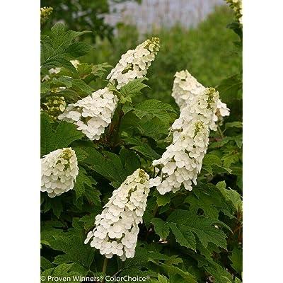 AchmadAnam - 4'' Pot - Gatsby Gal Oakleaf Hydrangea - Proven Winners, Plant, Bush, Shrub : Garden & Outdoor