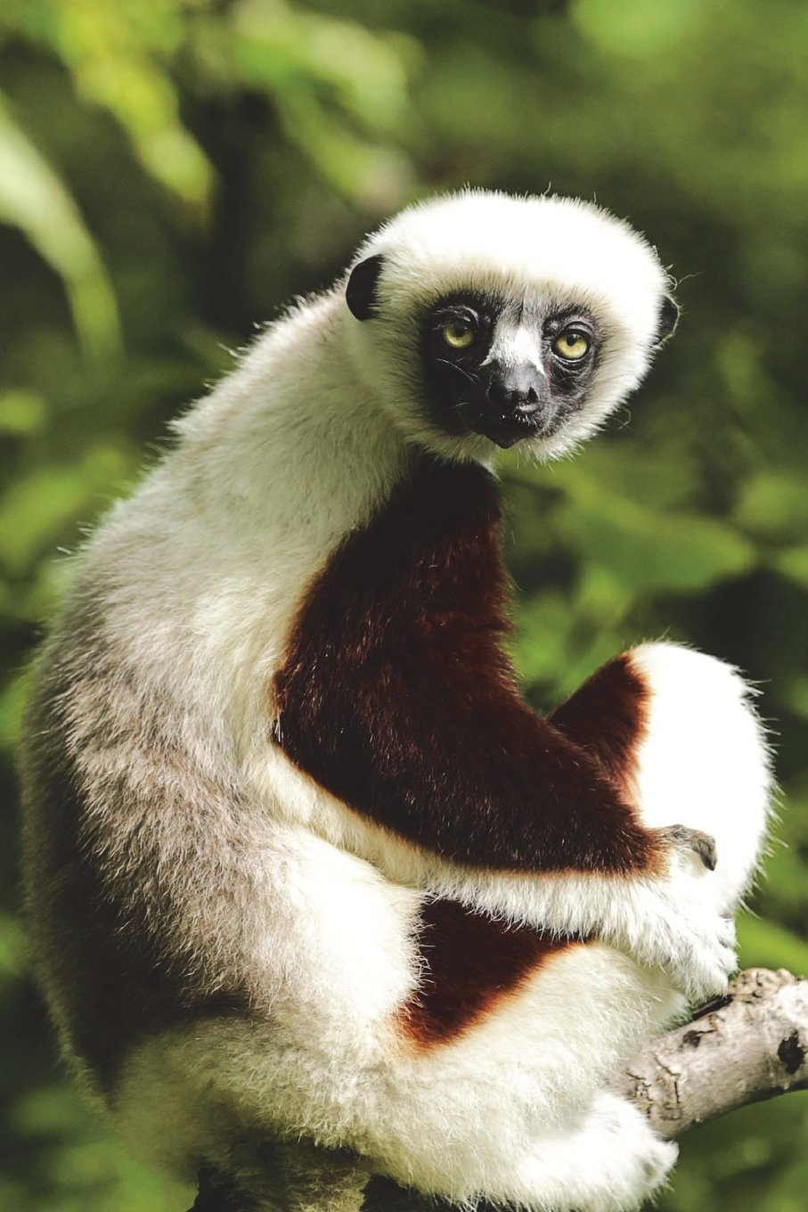Read Online Coquerel's Sifaka Lemur Wonders What You're Looking At Journal: 150 page lined notebook/diary PDF