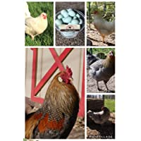 Mirtel Manor Farm Whiting True Blue Hatching Eggs Fertile Chicken Egg