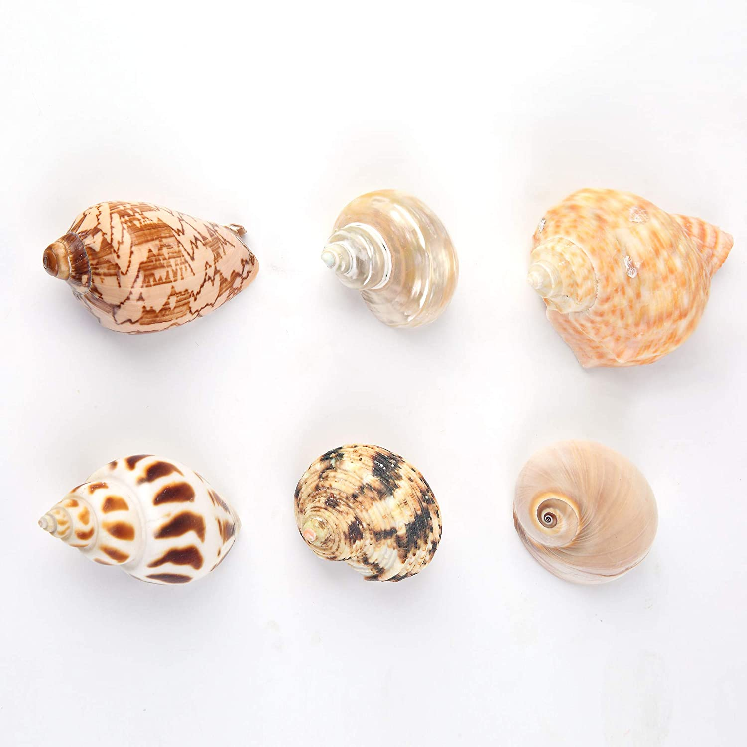 Large Hermit Crab Shells for Adult Crabs,6 Pack Different Types Natural Seashells No Painted Changing Shells Growth Shell,1 to 2 inch Opening Width