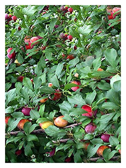 Amazon Com Santa Rosa Plum Prunus Salicina 1 1 2 Yr Old Healthy