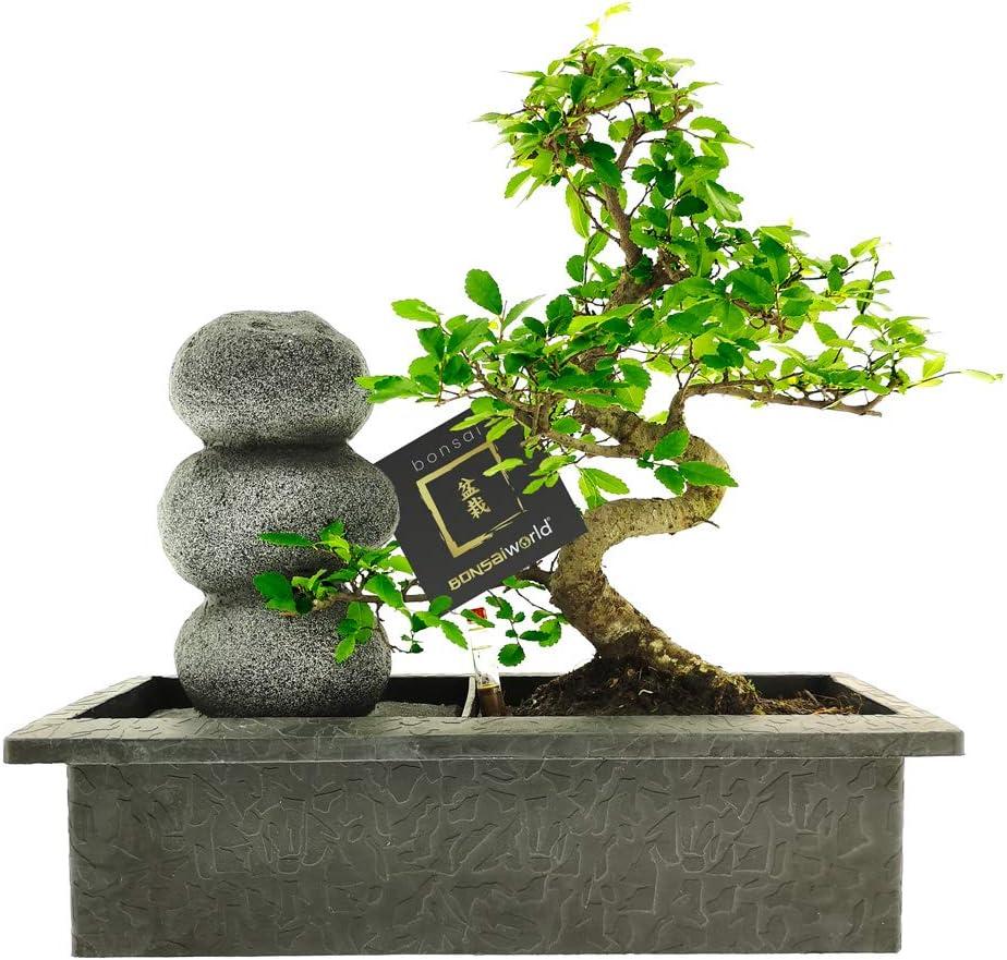 Baumh/öhe 30-35 cm mit Pflegeset 10 Jahre alt Bonsaiworld Bonsai Zen Steinen Wasserfall Set