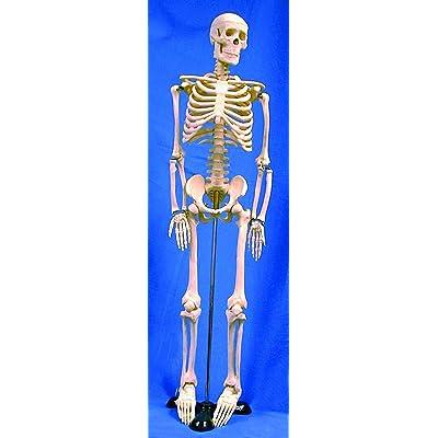 Introductory Mini Skeleton: Industrial & Scientific