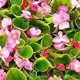 Begonia- Rose- 50 Seeds