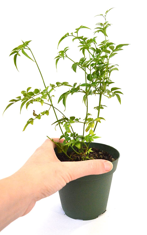 Amazon 9greenbox Pink Jasmine Plant Jasminum Polyanthum