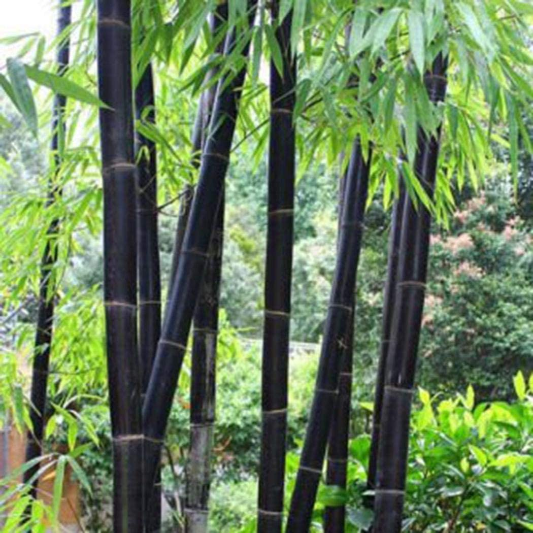 TOMASA Seedhouse- Moso exótico rarezas de bambú semillas de bambú resistentes plantas de bambú gigantes perennes semillas jardín estanque plantas ornamentales