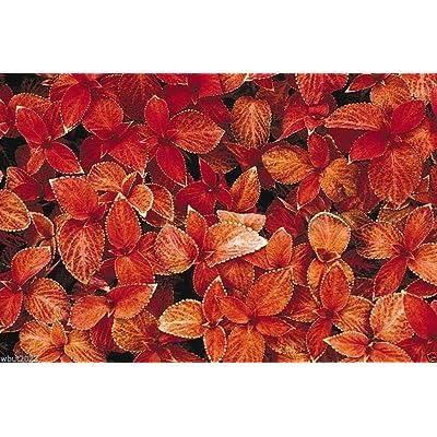 Coleus Seeds, Coleus Wizard Sunset- Great In Shaded Area- 100 Seeds ! : Garden & Outdoor