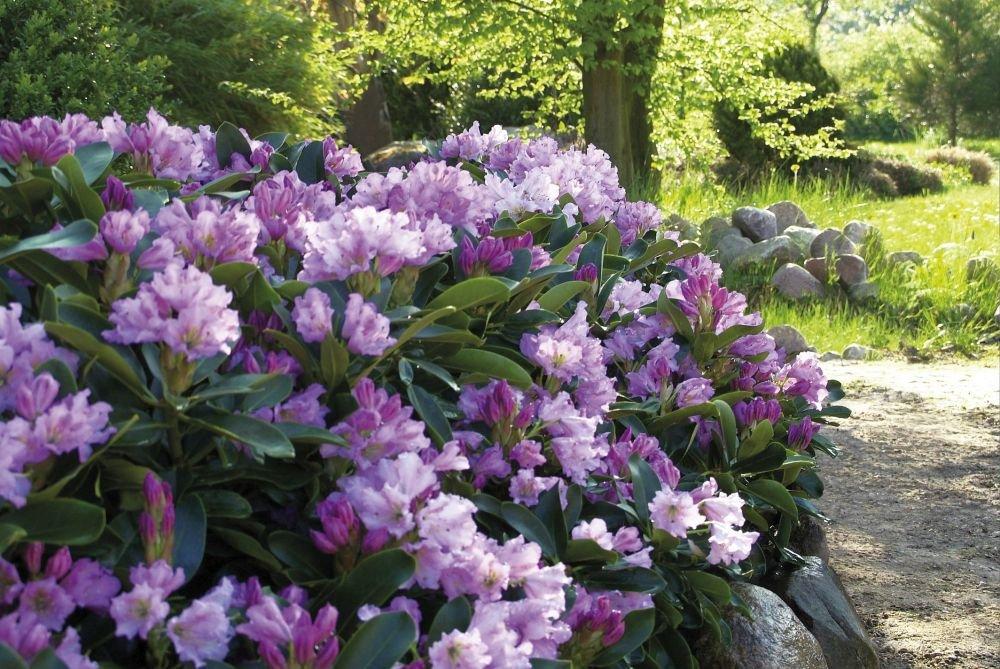 Rhododendron `INKARHO® - Dufthecke´ lila Größe 60-70 cm Pflanzenhöhe