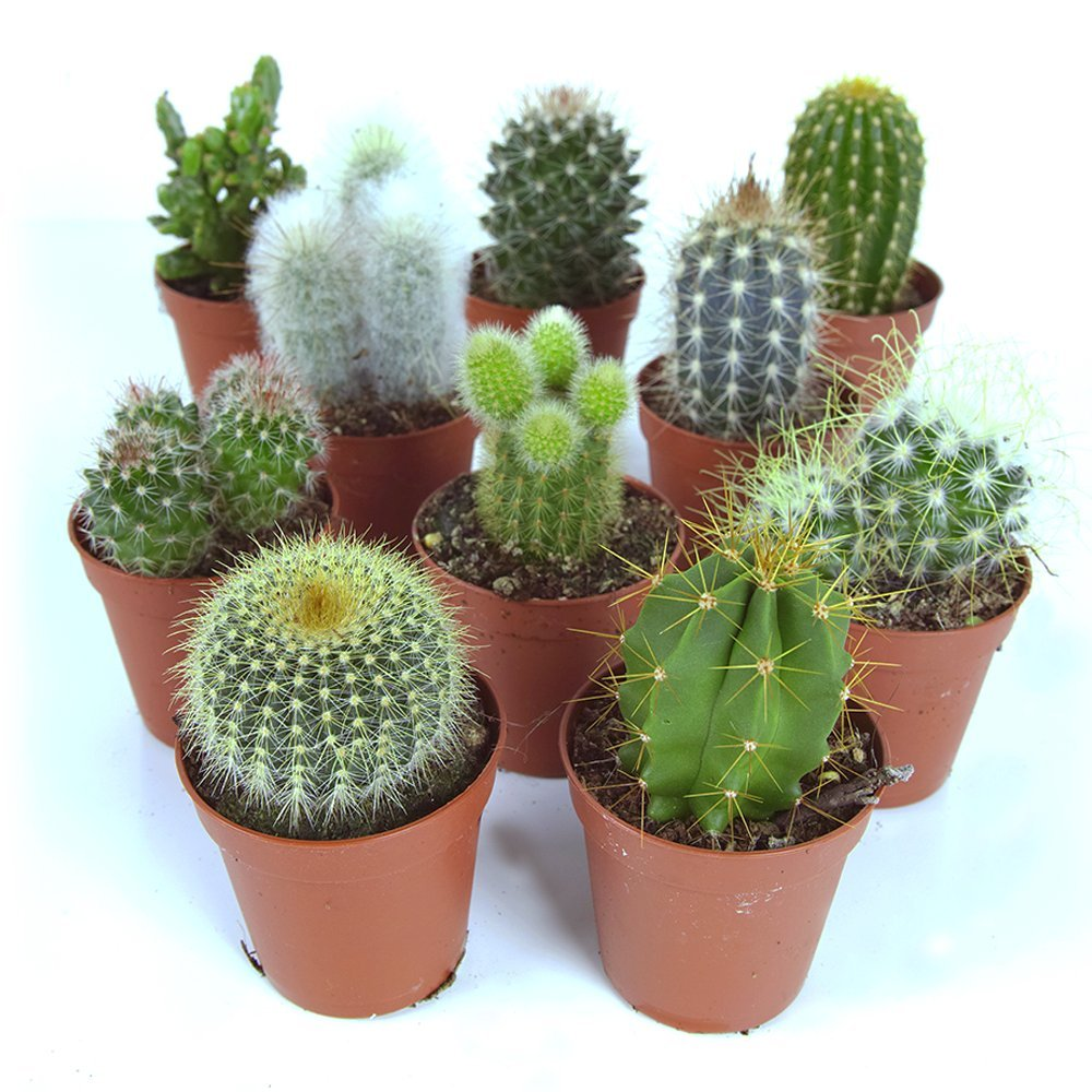 Cactus Mix - 10 Plants - House / Office Live Indoor Pot Plant - Ideal Gift GardenersDream