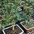 Brussel\'s Podocarpus Micro Phyllus Bonsai