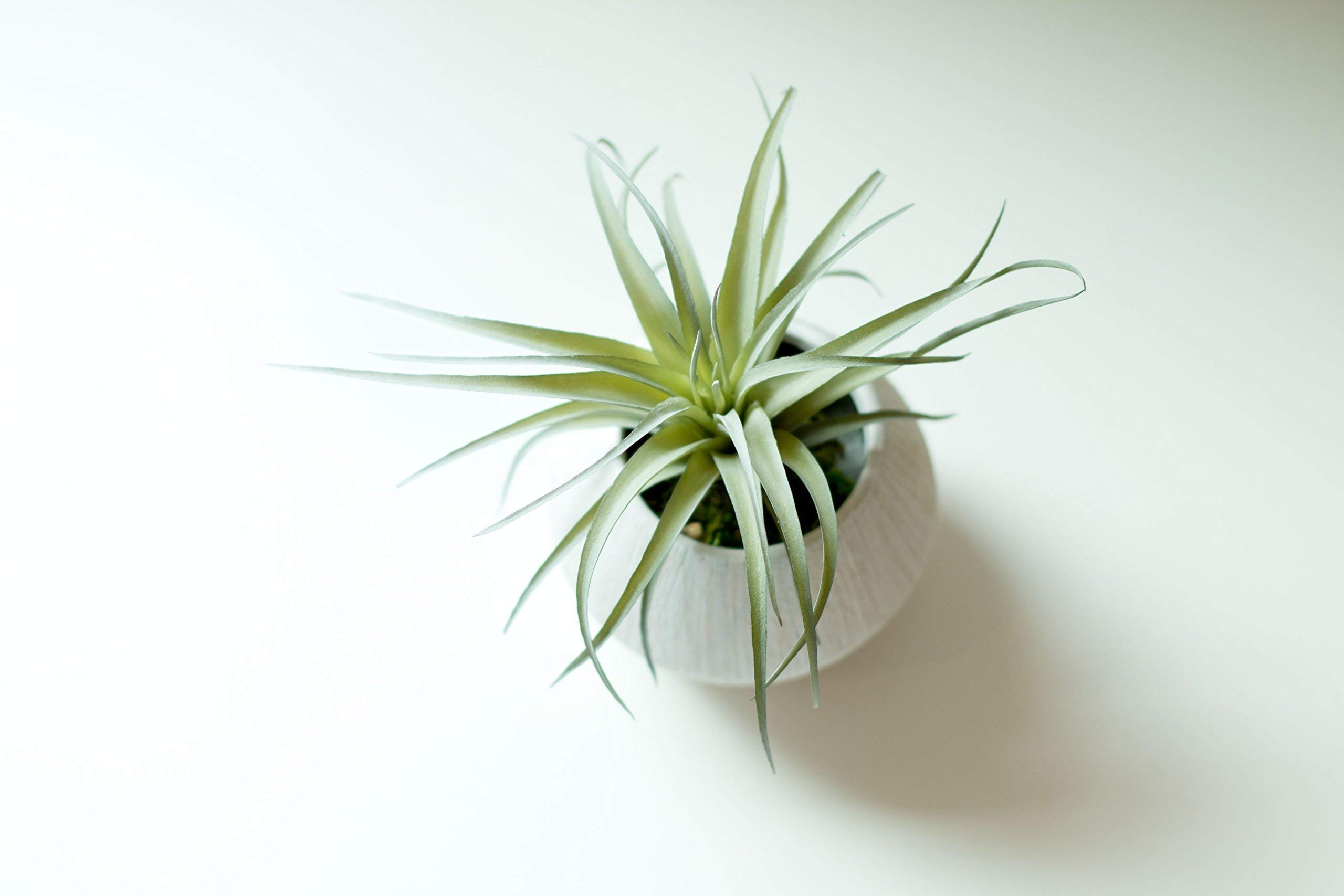 Small Faux Air Plant in Textured White Ceramic Planter - 6 x 6 Inches - Marmalade Decor Potted Artificial Tillandsia Plant in Etched, Lined Clay Pot - Global Modern Decor for Home or Office
