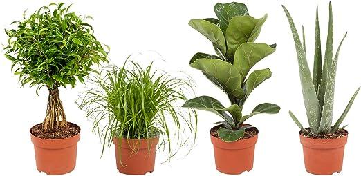 Piante Da Appartamento Amazon.Piante Da Interno Da Botanicly 4 Cyperus Zumula Ficus