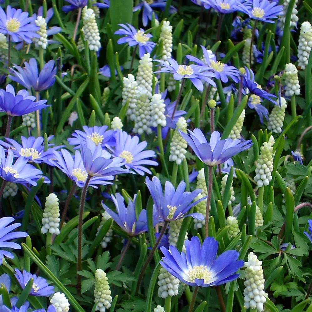 Kleine Traubenhyazinthe und blaue Anemone - 60 blumenzwiebeln Meingartenshop