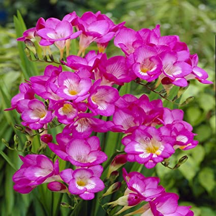 Amazon freesia single pink 20 flower bulbs garden outdoor freesia single pink 20 flower bulbs mightylinksfo
