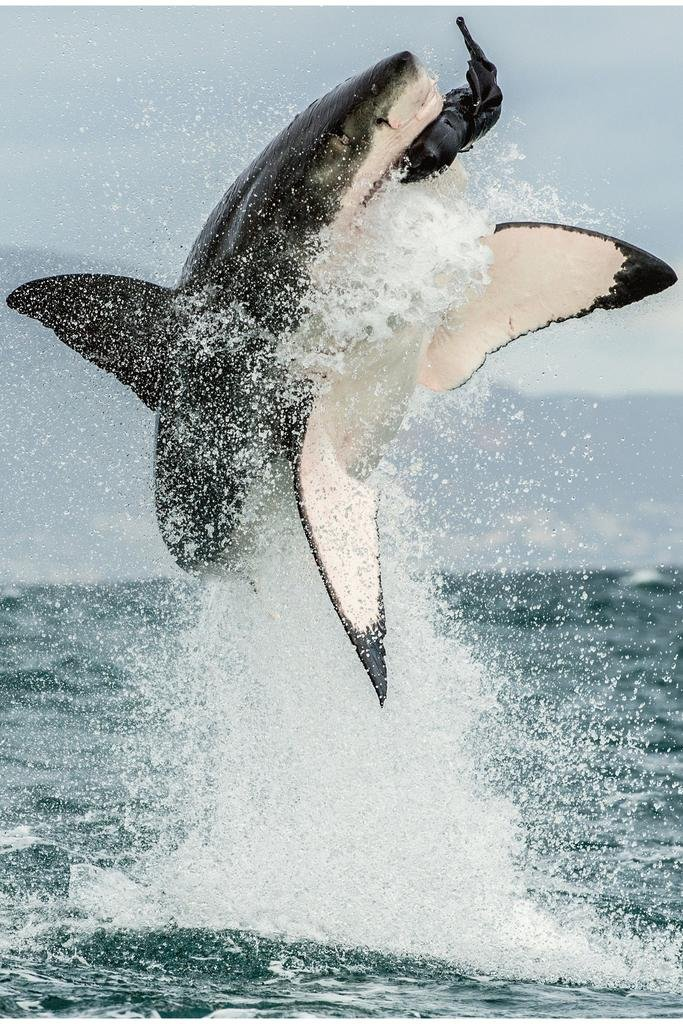 Great White Shark Jumping Out of Water Action Photo Poster 24x36 inch