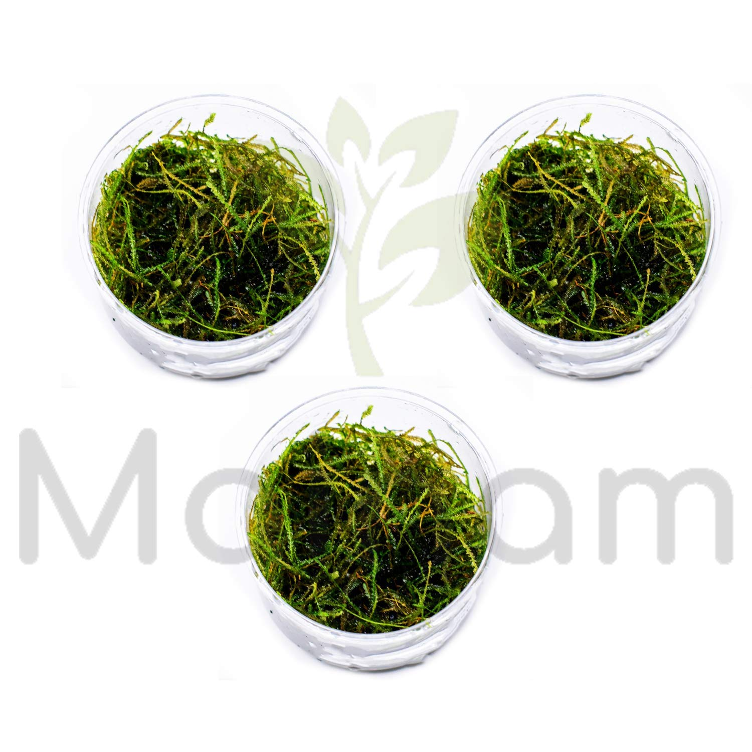 Mainam Vesicularia Dubyana | Java Moss (Naturally Grown) in Full Cup Live Aquarium Plant Decorations Freshwater Tropical Wide Terrarium Vivarium (3 Cup) by Mainam