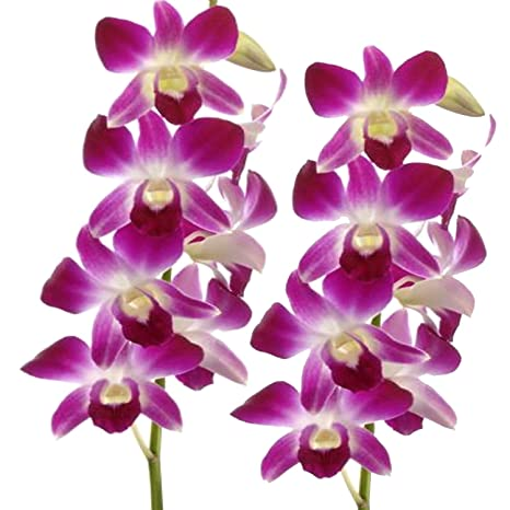 Orchid Tree Dendrobium Plant Amazon In Garden Outdoors