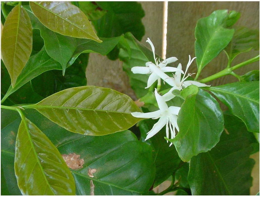 Amazon Com Coffea Canephora Robusta 10 Seeds Coffee Tree Small