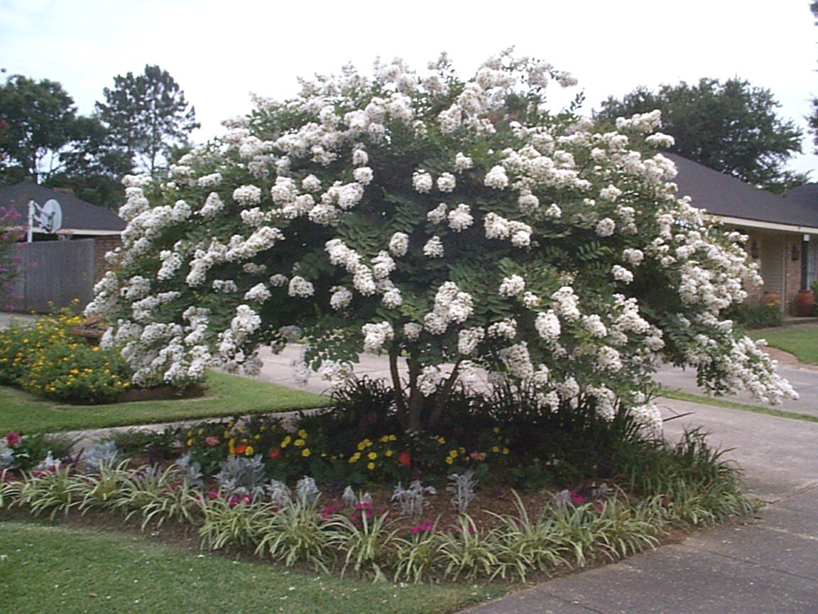 Acoma White Crapemyrtle Tree (1-2 feet tall in trade gallon containers) Weeping medium size crape myrtle!