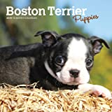 Boston Terrier Puppies 2019 Calendar