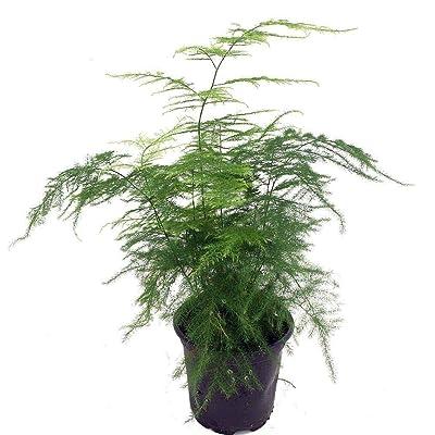 "AchmadAnam 4""Pot Great Houseplant Easy to Grow Fern Leaf Plumosus Asparagus Live Plant Fern : Garden & Outdoor"