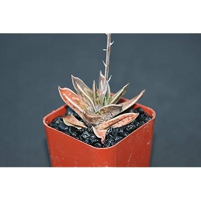"Gasteria Liliputana Exotic Rare Succulent Cacti Agave Gasteraloe 2"" Pot Plant #EXC01 : Garden & Outdoor"