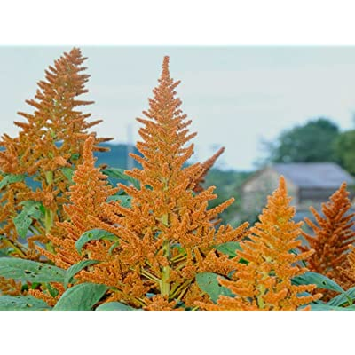 Go Garden Golden Giant Amaranth! Rare Heirloom! 6-8 Ft Tall! 50 Seeds! See Our Store!: Home & Kitchen