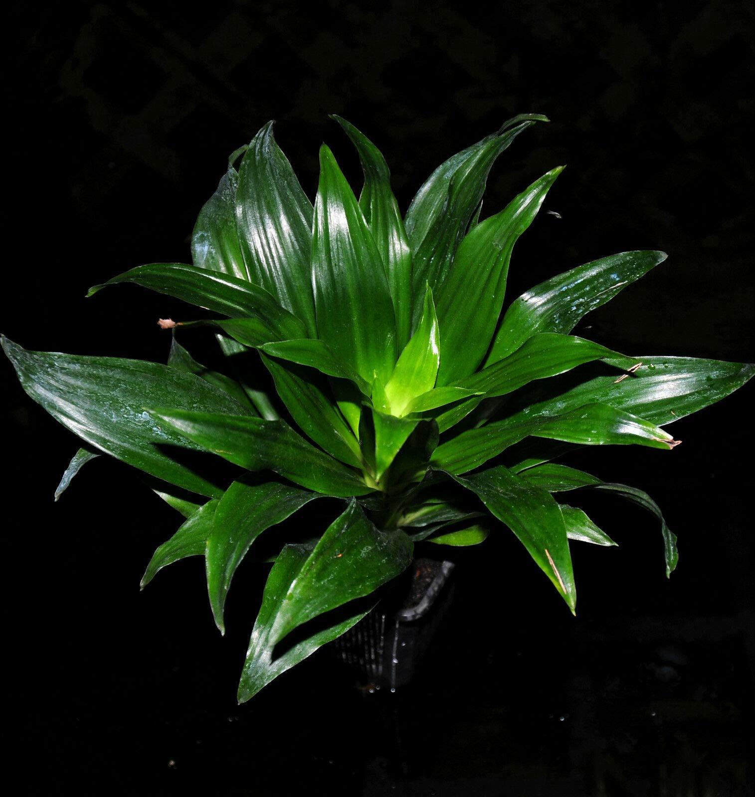 4 Tropical Dracaena Janet Craig Compacta 'JCC' Shipped in 3'' Pot Easy Houseplant (Premium Quality) by AY-Premium