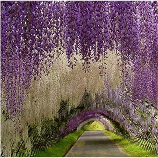 20 unidades de Wisteria semillas, plantas trepadoras bonsai jardin de semillas de soja, semillas de flores: Amazon.es: Jardín