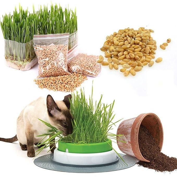 SSXY Semillas de Trigo de Hierba de Gato, Unas 800 tabletas / 30 g de Semillas de Avena para Perros Semillas de Catnip Semillas de Trigo Bonsai Plantas de ...