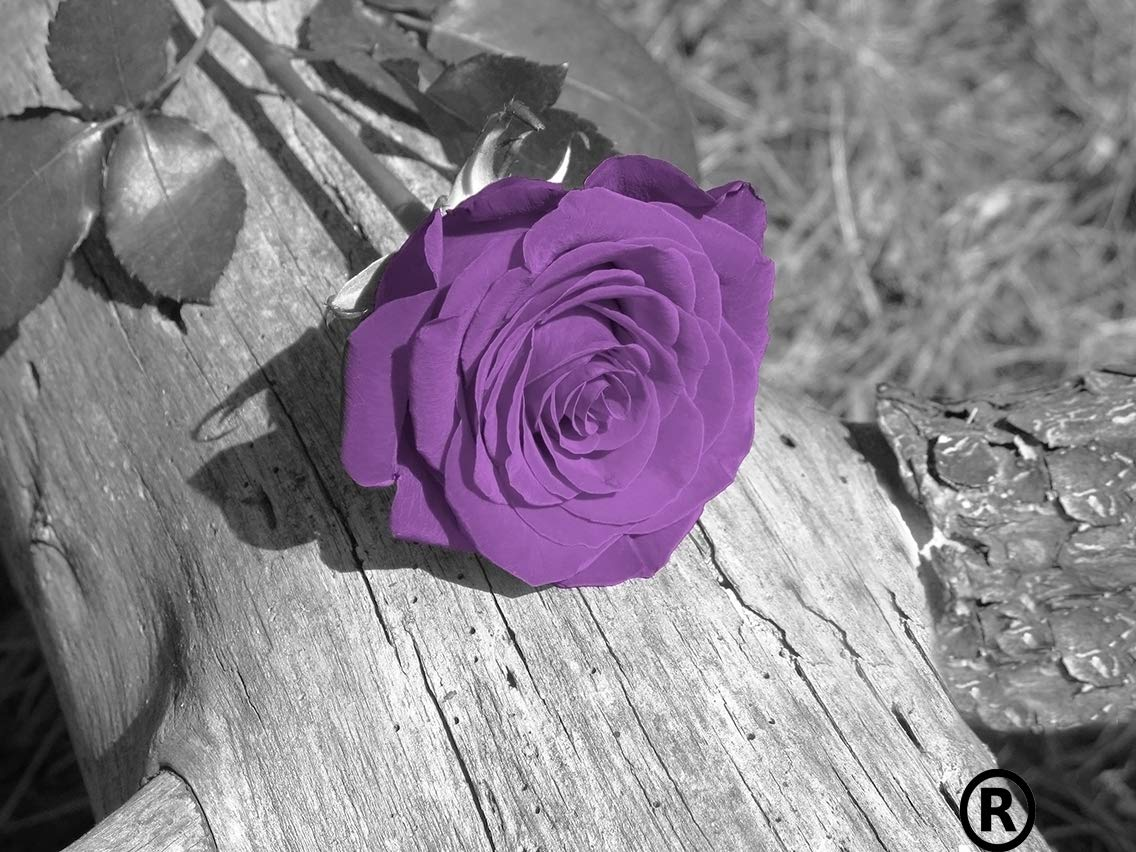 Black white purple wall decor purple rose flower purple grey home decor matted artwork 8x10 with 11x14 white at you will need a 11x14 photo frame