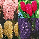 Hyacinths Mixed Bulbs 15/pack