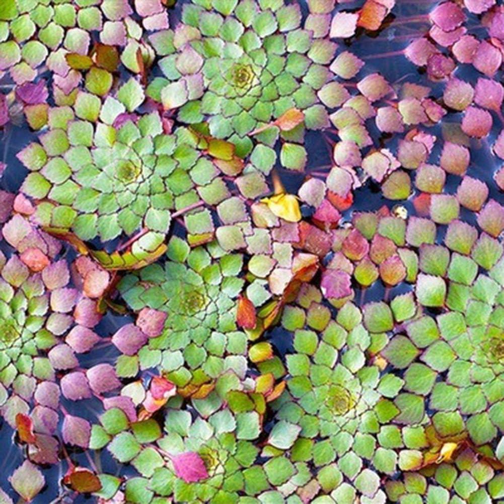 khkadiwb Garden Decor 20Pcs Aquarium Aquatic Ludwigia Sedioides Seeds Fish Tank,Sprouting Guaranteed Home Balcony Courtyard Plants Gifts Ludwigia Sedioides Seeds