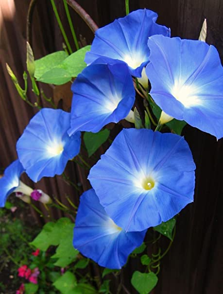 Amazon com : Morning Glory Seed, Caribbean Blue, 4 Ounces of Pure