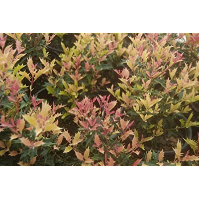 2 Gallon Pot - Live Plant - Party Lights Pink Flush Tea Olive (Osmanthus) Live Leaves Plant for Planting #RR07 : Garden & Outdoor