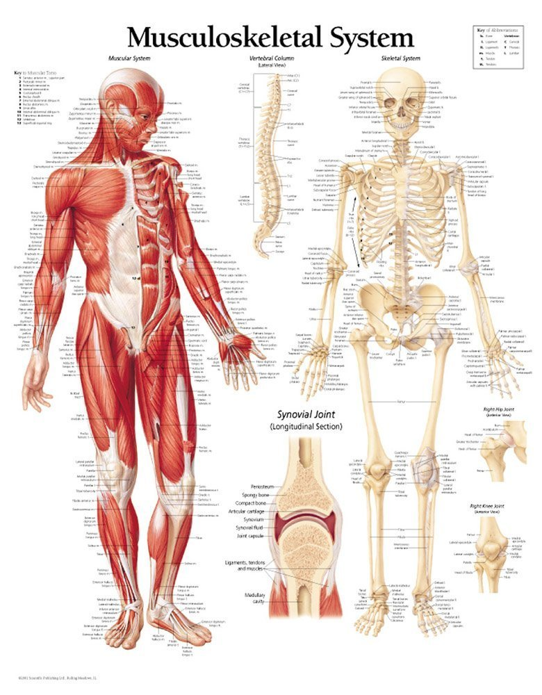 Musculoskeletal System Chart Laminated Wall Chart Scientific