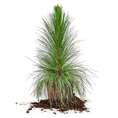 LONGLEAF Pine - Size: 3 Gallon, Live Plant, Includes Special Blend Fertilizer & Planting Guide : Garden & Outdoor