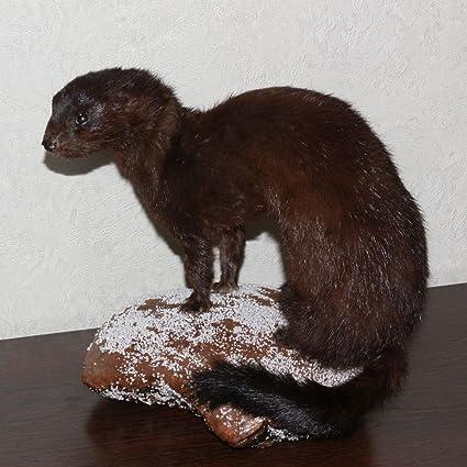 Amazon com : EUROPEAN MINK - TAXIDERMY MOUNT, STUFFED ANIMAL FOR