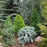 5 x Mixed Evergreen Conifers Bushy Ornamental Compact Garden Plants | 9cm Pots