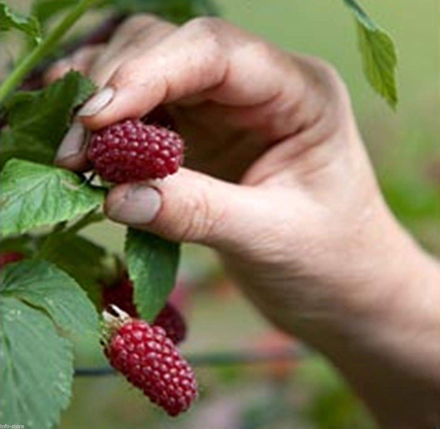 Crossbreed of Raspberry /& Blackberry 20 Seeds Vancouver Island Tayberry Plant