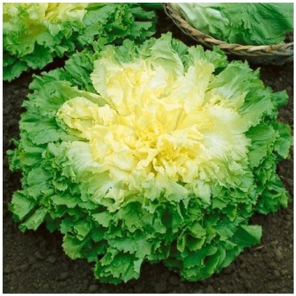 Lot de 50 graines de salade Chicor/ée Scarole grosse boucl/ée 2 l/égumes du potager
