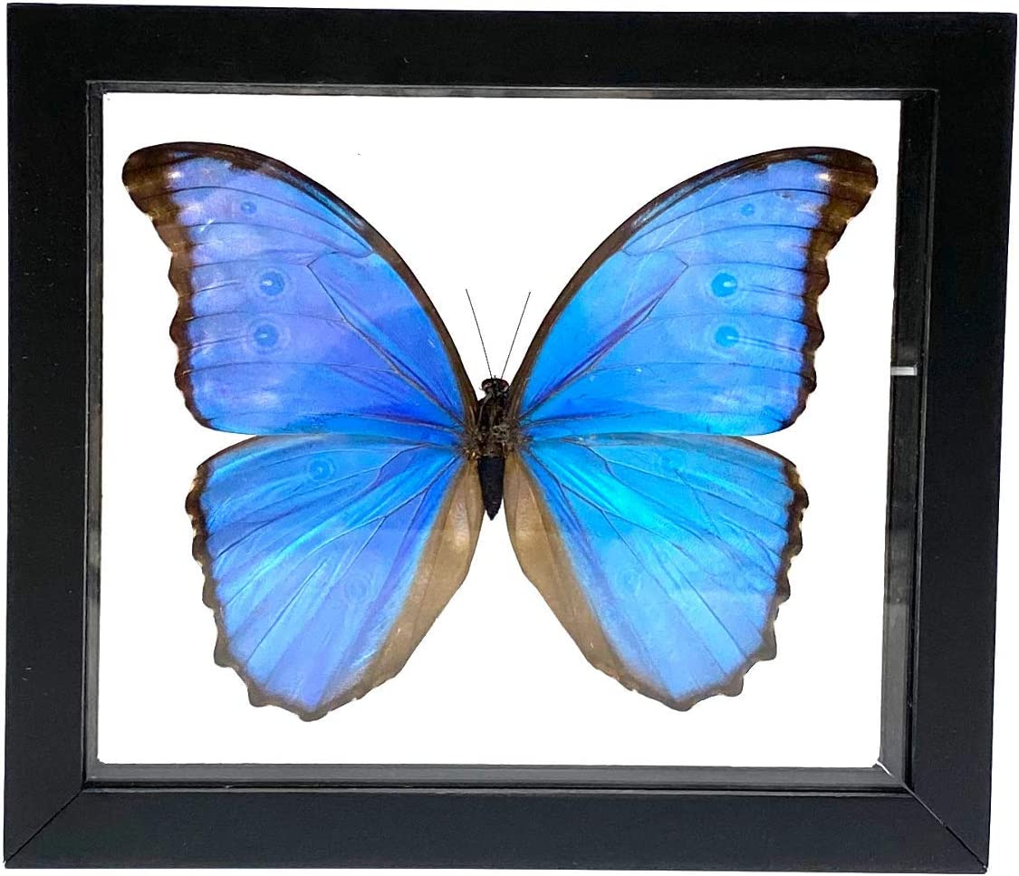 Amazon Com Real Butterfly Morpho Didius Insect Taxidermy Frame With Double Side Glass Front Single Frames