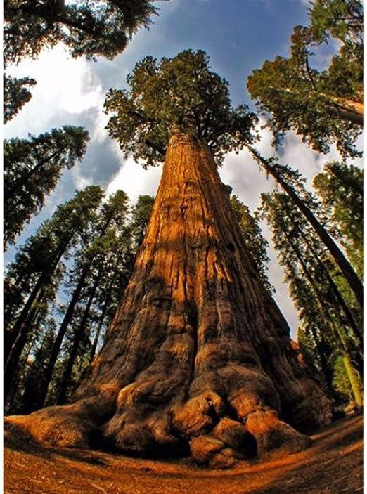 Wekold 20 tronco de semillas de árboles de madera roja enorme árbol jardín bosque: Amazon.es: Jardín