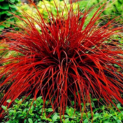 HOTUEEN Adorable Flower Fragrant Blooms Ornamental Grass Seeds Home Garden Yard Lawn Decoration (50Pcs Red) : Garden & Outdoor
