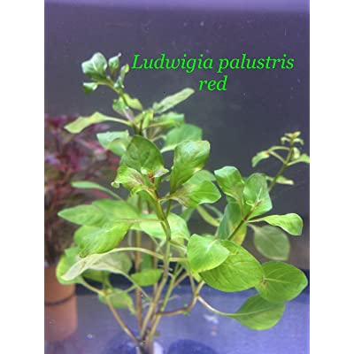 Live Aquatic Potted Plant Ludwigia palustris red P285 : Garden & Outdoor