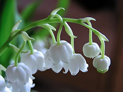 Amazoncom Lily Of The Valley 15 Seeds Convallaria Shade Perennial