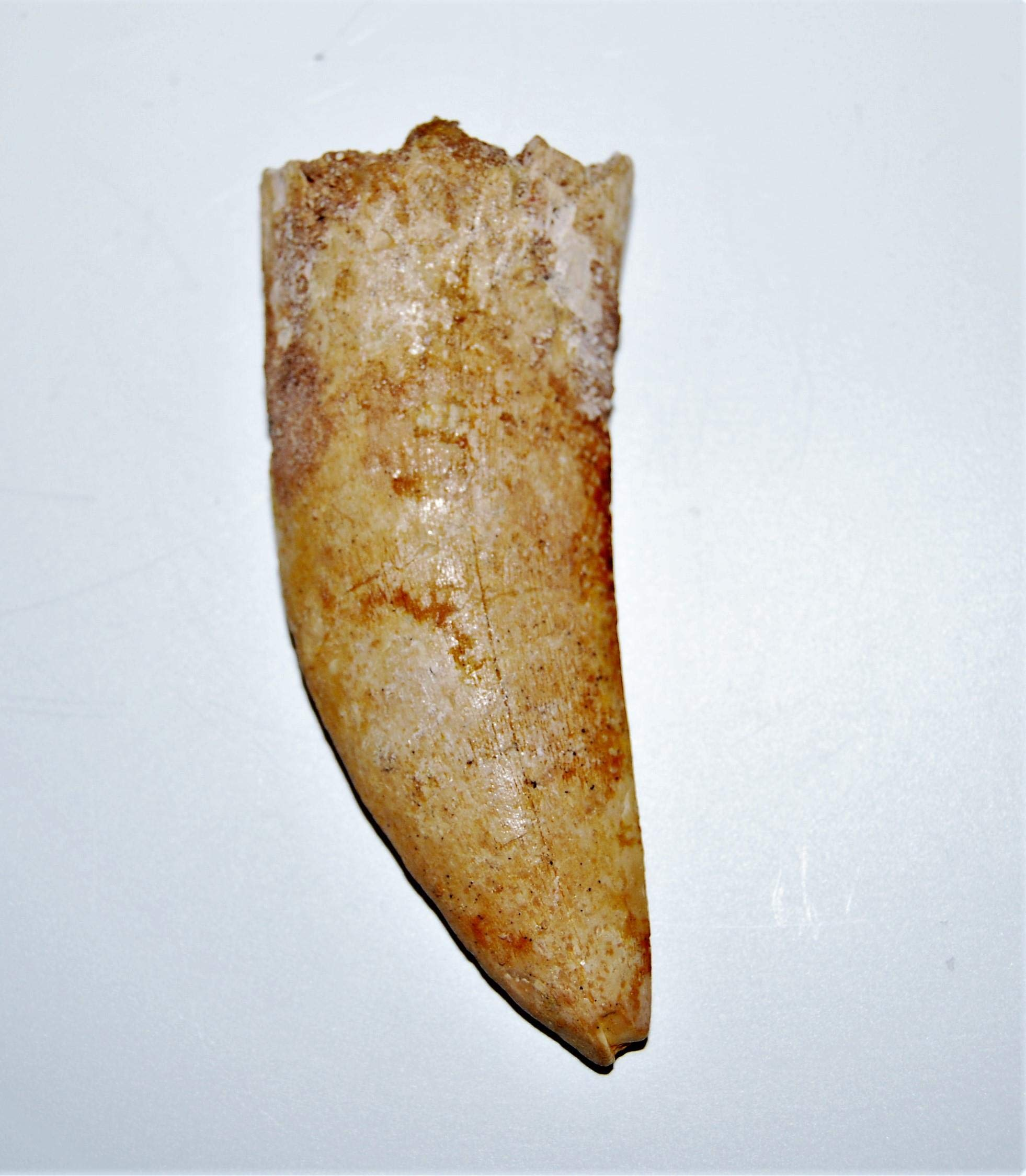 Carcharodontosaurus Dinosaur Tooth 2.878'' Fossil African T-Rex LDB #14167 15o by Fossils, Meteorites, & More (Image #2)